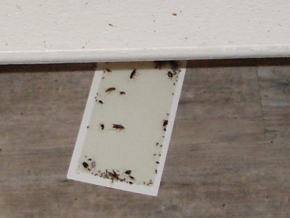 German roaches dead on glue trap.JPG