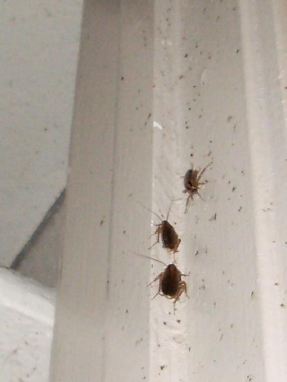 German roaches on kitchen closet doorway 2.JPG